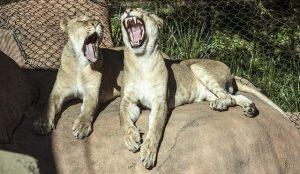 あくびする2頭のライオン