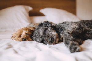 寝る2匹の犬