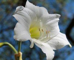 白のアマリリス