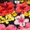 ハイビスカスの花言葉は女性的!赤・白・ピンクで違うのは誕生花!?