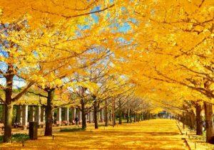 銀杏の木の紅葉