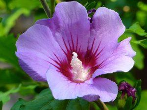 ハイビスカス-紫