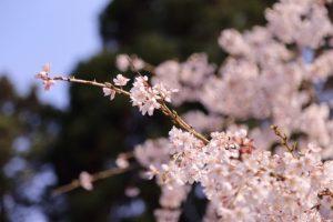 アップの桜