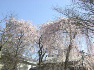 醍醐寺と桜