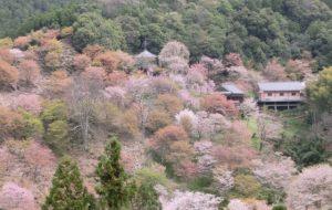 吉野山の桜②