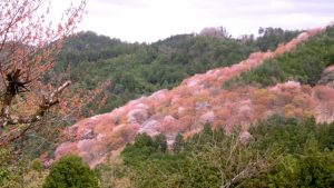 吉野山の桜①