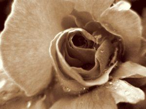 白黒のバラ