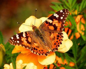 オレンジの蝶